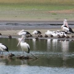 Pelecanus conspicillatus (Australian Pelican) at Wonga Wetlands - 16 Mar 2021 by PaulF