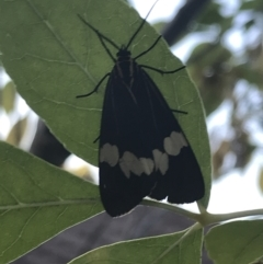 Nyctemera amicus (Senecio or Magpie moth) at Garran, ACT - 14 Mar 2021 by Tapirlord