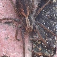 Venatrix pictiventris (Wolf spider) at Hughes Garran Woodland - 15 Mar 2021 by Tapirlord