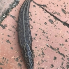 Limax maximus (Leopard Slug, Great Grey Slug) at Hughes Garran Woodland - 15 Mar 2021 by Tapirlord