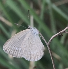 Zizina otis (Common Grass-blue) at City Renewal Authority Area - 16 Mar 2021 by Tapirlord