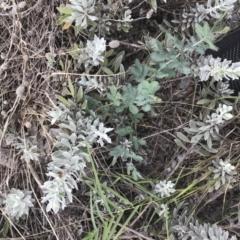 Acacia baileyana (Cootamundra Wattle, Golden Mimosa) at City Renewal Authority Area - 16 Mar 2021 by Tapirlord