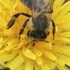 Apis mellifera (European honey bee) at Phillip, ACT - 16 Mar 2021 by Tapirlord