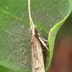 Lecithocera undescribed species nr terrigena at Cook, ACT - 22 Mar 2021 by drakes
