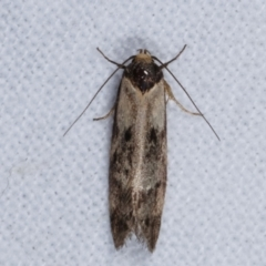 Palimmeces leucopelta (A concealer moth) at Melba, ACT - 15 Mar 2021 by kasiaaus