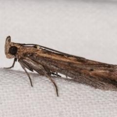 Morosaphycita oculiferella (Phycitinae) at Melba, ACT - 15 Mar 2021 by kasiaaus