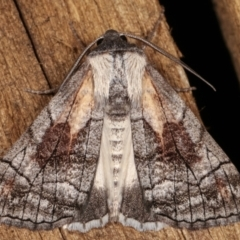 Stibaroma melanotoxa (Grey-caped Line-moth) at Melba, ACT - 15 Mar 2021 by kasiaaus