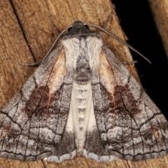 Stibaroma melanotoxa (Grey-caped Line-moth) at Melba, ACT - 15 Mar 2021 by kasiaaus