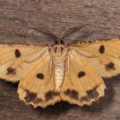 Scioglyptis lyciaria (White-patch Bark Moth) at Melba, ACT - 15 Mar 2021 by kasiaaus