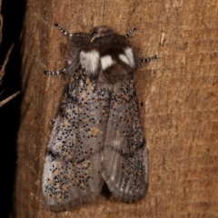 Oenosandra boisduvalii (Boisduval's Autumn Moth) at Melba, ACT - 16 Mar 2021 by kasiaaus