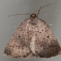 Amelora undescribed species (A Geometrid moth) at Melba, ACT - 16 Mar 2021 by kasiaaus