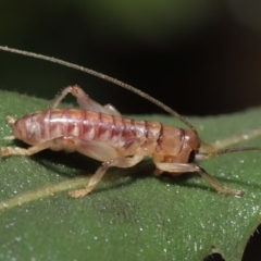 Gryllacrididae sp. (family) (Wood, Raspy or Leaf Rolling Cricket) at ANBG - 21 Mar 2021 by TimL