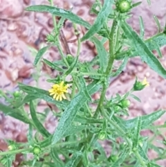 Dittrichia graveolens (Stinkwort) at Dryandra St Woodland - 22 Mar 2021 by tpreston