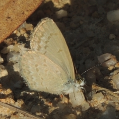 Zizina otis (Common Grass-blue) at Paddys River, ACT - 11 Feb 2021 by michaelb