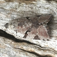 Meritastis lythrodana (A tortrix or leafroller moth) at Dryandra St Woodland - 19 Mar 2021 by Ned_Johnston