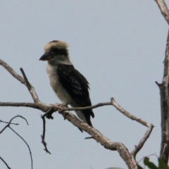 Dacelo novaeguineae (Laughing Kookaburra) at Wonga Wetlands - 16 Mar 2021 by PaulF