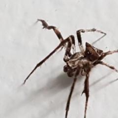 Australomimetus sp. (genus) (TBC) at Lyneham, ACT - 23 Mar 2021 by tpreston