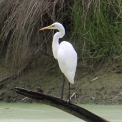 Ardea alba (Great Egret) at Wonga Wetlands - 16 Mar 2021 by PaulF