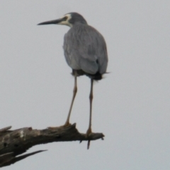 Egretta novaehollandiae (White-faced Heron) at Wonga Wetlands - 17 Mar 2021 by PaulF