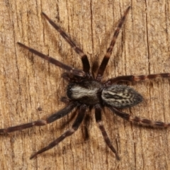 Unidentified Spider (Araneae) (TBC) at Melba, ACT - 16 Mar 2021 by kasiaaus