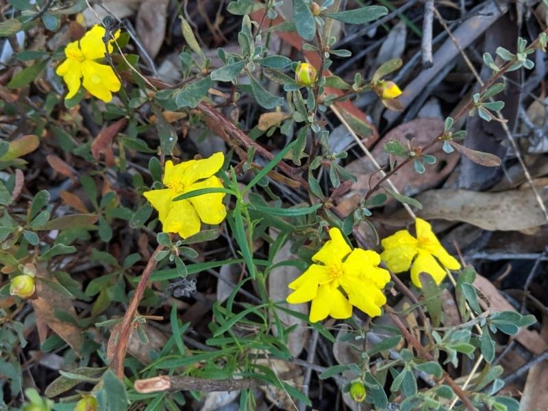 Hibbertia obtusifolia at Federal Golf Course - 19 Mar 2021