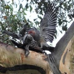 Callocephalon fimbriatum (Gang-gang Cockatoo) at Point One - 23 Mar 2021 by JackyF