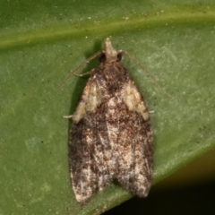 Capua intractana (A Tortricid moth) at Melba, ACT - 17 Mar 2021 by kasiaaus