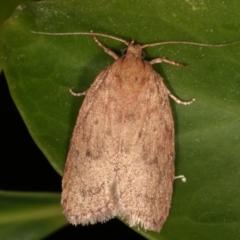 Garrha leucerythra (A concealer moth) at Melba, ACT - 17 Mar 2021 by kasiaaus