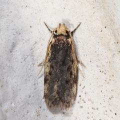 Hoplostega ochroma (A concealer moth) at Melba, ACT - 17 Mar 2021 by kasiaaus