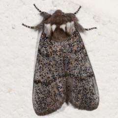 Oenosandra boisduvalii (Boisduval's Autumn Moth) at Melba, ACT - 17 Mar 2021 by kasiaaus