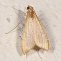 Antigastra catalaunalis (Spilomelinae) (Sesame Leaf-roller) at Melba, ACT - 18 Mar 2021 by kasiaaus