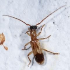Atesta stigmosa (Longhorn or Longicorn beetle) at Melba, ACT - 18 Mar 2021 by kasiaaus