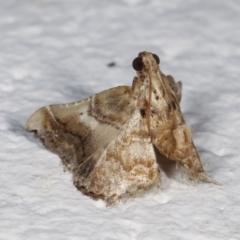 Scenedra decoratalis (A Pyralid moth) at Melba, ACT - 18 Mar 2021 by kasiaaus