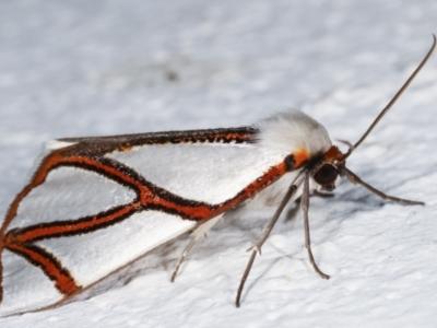 Thalaina clara (Clara's Satin Moth) at Melba, ACT - 18 Mar 2021 by kasiaaus