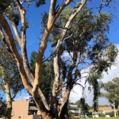 Eucalyptus blakelyi (Blakely's Red Gum) at Duffy, ACT - 23 Mar 2021 by Nat