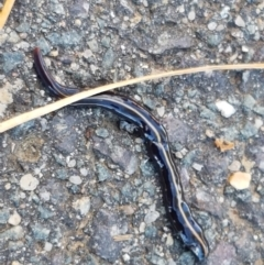 Caenoplana coerulea (Blue Planarian, Blue Garden Flatworm) at City Renewal Authority Area - 23 Mar 2021 by tpreston