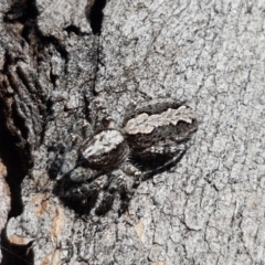 Clynotis severus (Stern Jumping Spider) at Lyneham, ACT - 23 Mar 2021 by tpreston