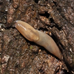 Ambigolimax nyctelia (Striped Field Slug) at ANBG - 23 Mar 2021 by TimL