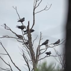 Corvus mellori (Little Raven) at Holt, ACT - 24 Mar 2021 by wombey