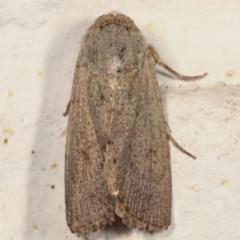Proteuxoa (genus) (A Noctuid moth) at Melba, ACT - 19 Mar 2021 by kasiaaus