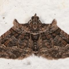 Phrissogonus laticostata (Apple looper moth) at Melba, ACT - 19 Mar 2021 by kasiaaus