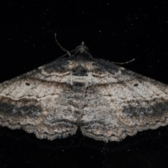 Syneora euboliaria (A looper or geometer moth) at Ainslie, ACT - 23 Mar 2021 by jbromilow50
