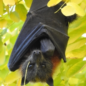 Pteropus poliocephalus (Grey-headed Flying Fox) at suppressed by GlossyGal
