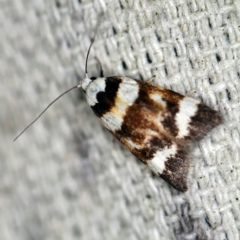 Catacometes phanozona (A Concealer moth) at O'Connor, ACT - 10 Nov 2020 by ibaird