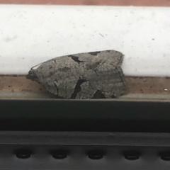 Meritastis pyrosemana (A Tortricid moth) at Aranda, ACT - 23 Mar 2021 by KMcCue
