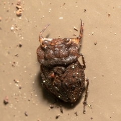 Nerthra sp. (genus) (Toad Bug) at Acton, ACT - 23 Mar 2021 by Roger