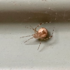 Unidentified Orb-weaving spider (several families) (TBC) at Aranda, ACT - 23 Mar 2021 by KMcCue