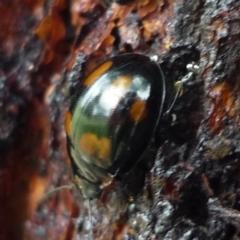 Paropsisterna beata (Eucalyptus leaf beetle) at Evatt, ACT - 24 Mar 2021 by Thurstan