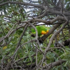 Polytelis swainsonii (Superb Parrot) at Ainslie, ACT - 23 Mar 2021 by trevsci