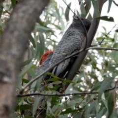 Callocephalon fimbriatum (Gang-Gang Cockatoo) at Wodonga - 24 Mar 2021 by WingsToWander
